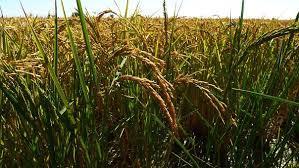 稲作 写真 - 無料イメージのダウンロード - Pixabay